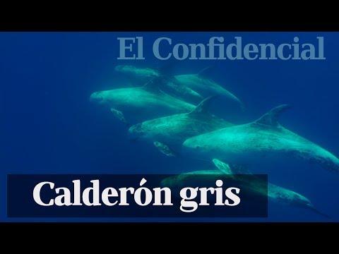 Naturaleza  El calderón gris el delfín que cambia de piel