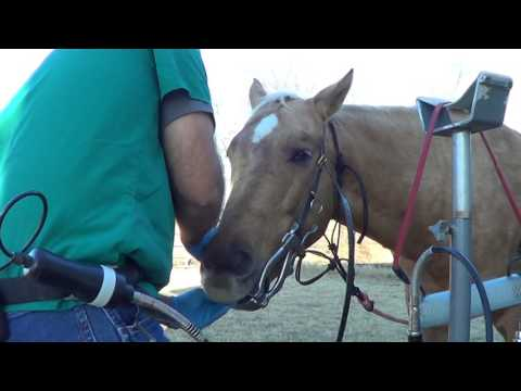 Equine Dentistry Floating Horse Teeth 5 of 6 -  Inspecting A Horse Who Has Never Been Floated