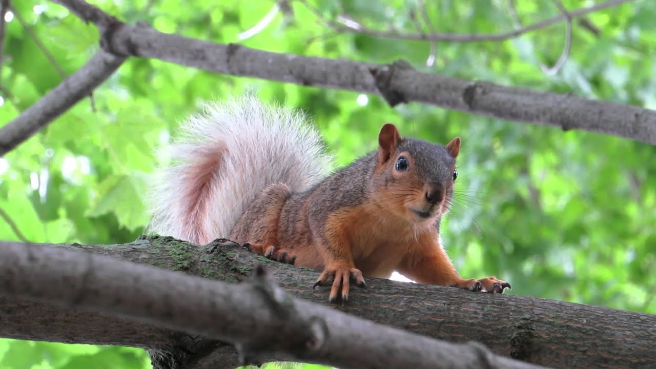 Fox Squirrel Barking Youtube