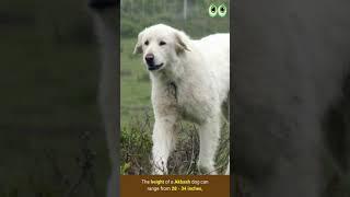 Akbash  Dog Breed Guide | Petmoo | #Shorts