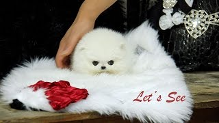 Amazing Micro Teacup Pomeranian For Sale