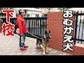 シェパード犬小学校お迎え散歩German Shepherd dog JAPANESEAKITA
