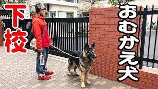 grandchild and German Shepherd dog 東京久しぶりの晴れ間、秋田犬元気...