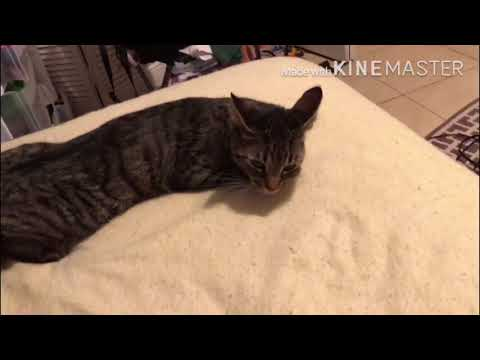 How To Fix A Female Cat That's In Heat