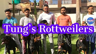 Tung's Rottweilers | Rottweilers Dog Breed | All About Rottweilers | Scoobers