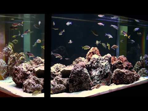 simple-beauty-of-tanganyikan-fish---a-hardscape-by-aquarium-design-group