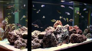 Simple Beauty Of Tanganyikan Fish-- A Hardscape By Aquarium Design Group