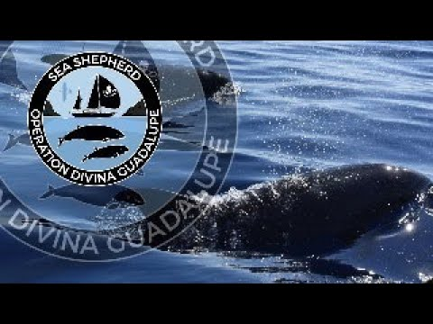 OPERATION DIVINA GUADALUPE - SEA SHEPHERD'S BEAKED WHALE RESEARCH PROJECT