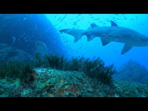 Wolf Rock. Diving with Grey Nurse Sharks