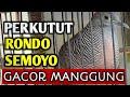 Perkutut Rondo Semoyo Gacor Manggung Si Kupluk  Mp3 - Mp4 Download