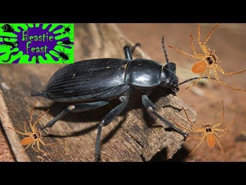 Egyptian blaps beetle + huntsman spiders   BEASTIE FEAST