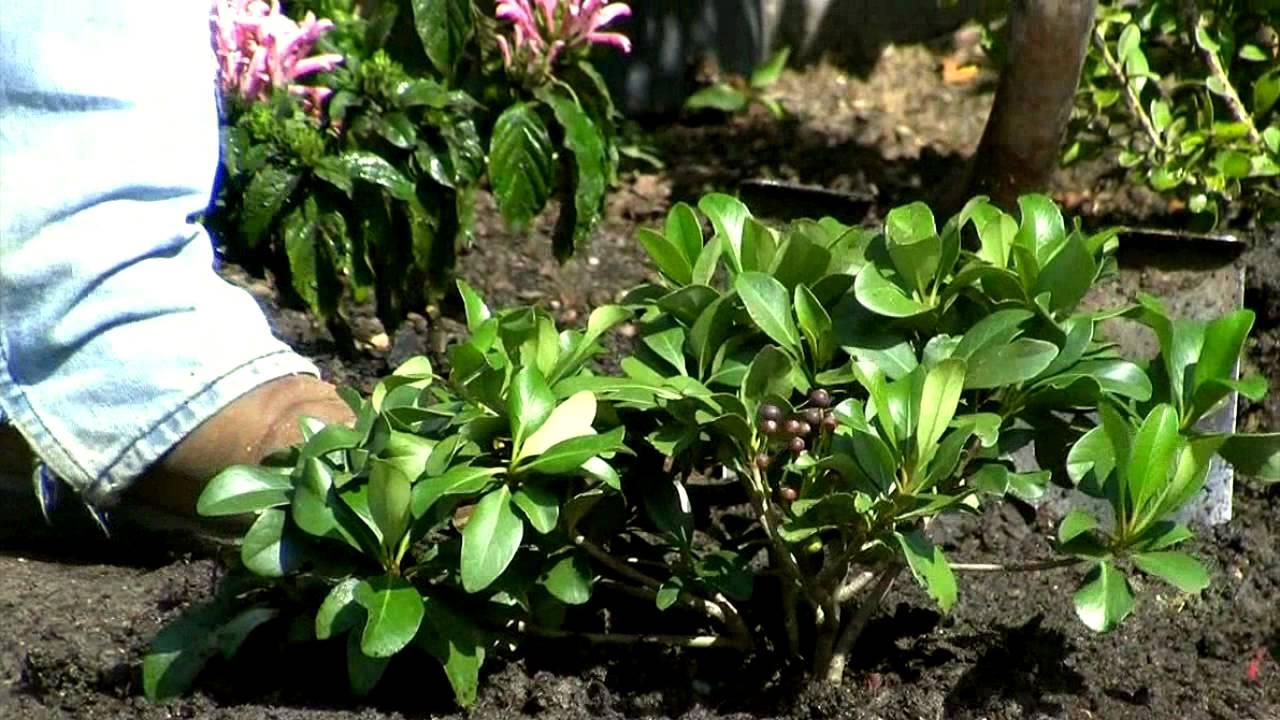 Plant Indian Hawthorn Flower Shrubs Raphiolepsis