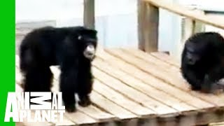Untamed and Uncut - Chimp Rescue