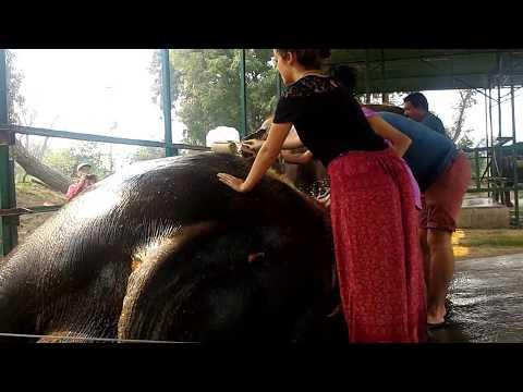 Wildlife SOS: Visitors and Volunteers Help Bathe The Elephants