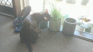 Bengal Kitten - Eating Cat Grass (Lara)