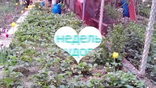 Выпащивание клубники-защита плодов подстилом(выращивание, клубника, выращивание клубники, здоровье, витамины, гидропоника, клубника на гидропонике,..., 2016-05-26T17:53:50.000Z)
