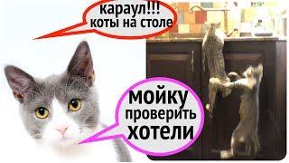Волосы встали дыбом, два кота разносят дом!!!