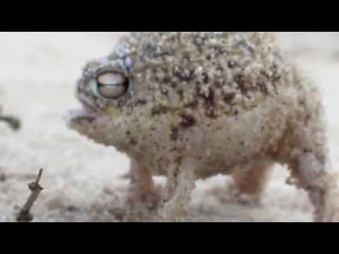 Desert Rain Frog Remix