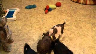 Toy/teacup Schnauzer Puppies