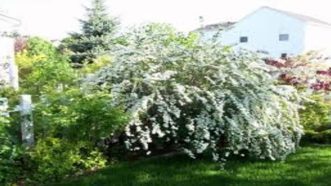 Bridal Wreath Spirea For Sale Youtube