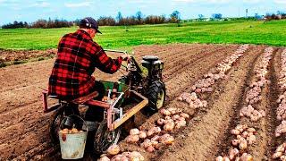 🌿 Посадка Картофеля Мотоблоком 2020! Выращивание по технологии \
