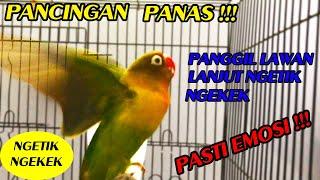 Download lagu PANCINGAN LABET NGETIK NGEKEK PANJANG MEMBIKIN LAWAN EMOSI !!!