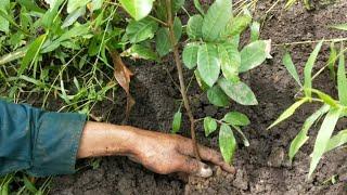 CÁCH TRỒNG CÂY NHÃN MỚI KHÔNG TỐN TIỀN MUA GIỐNG    Vườn Cây Ăn Trái Vlog