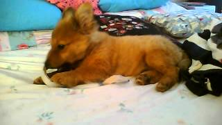 Pomeranian Yorkie Cross Playing With Sellotape So Cute