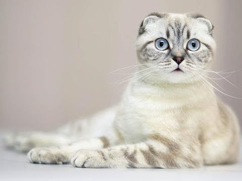 The Scottish Fold Cat | Scottish Fold Cat