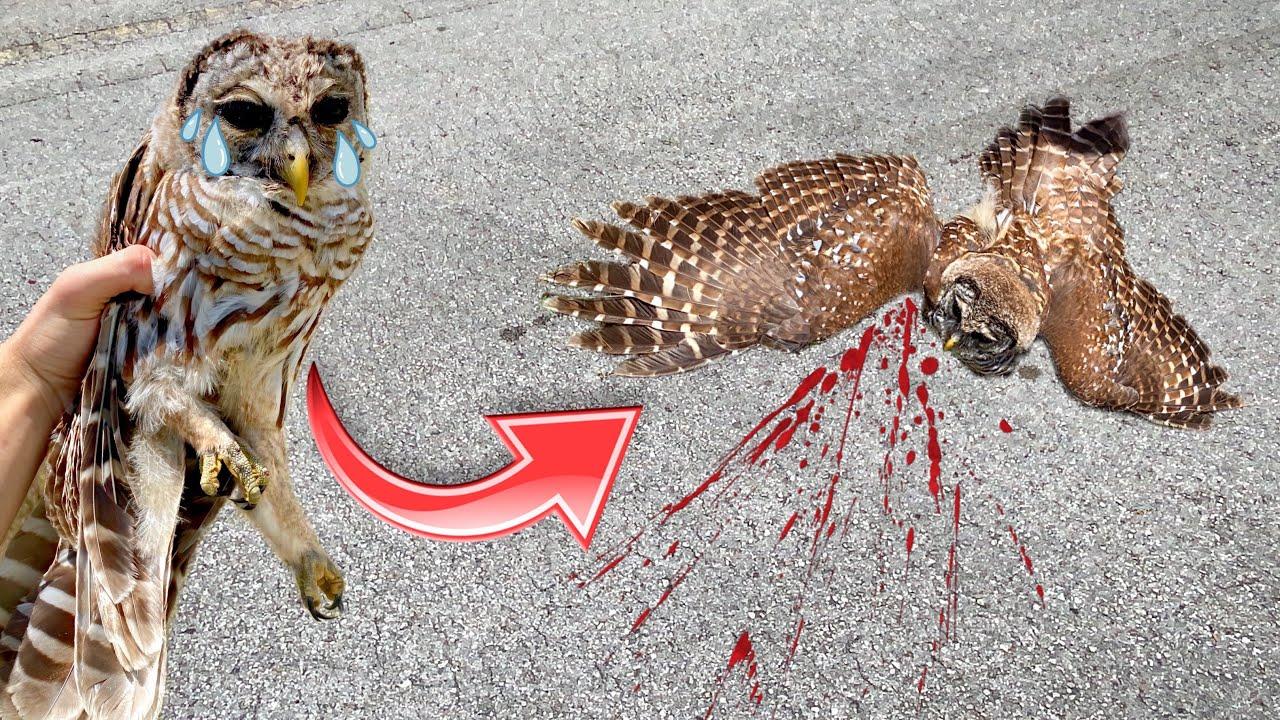 INJURED OWL FOUND HALF-DEAD With BROKEN LEGS ! WILL WE SAVE HIM ?!