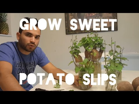 HOW TO GROW & CUT SWEET POTATO SLIPS (SPROUTS), CUBAN VARIETY / RED PURPLE