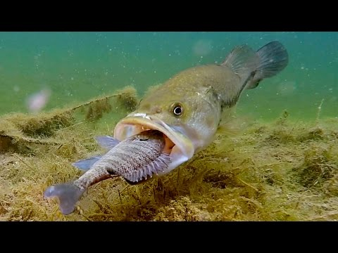 Thumbnail: Do Bass Actually Eat Bluegills?? | GoPro Live Bluegill Footage Underwater