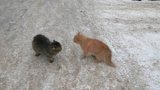 Мартовские коты ругаются и дерутся