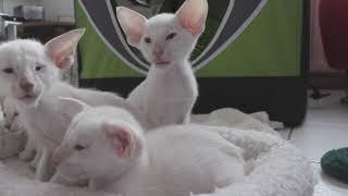 Siamese kittens beschikbaar okt. '19