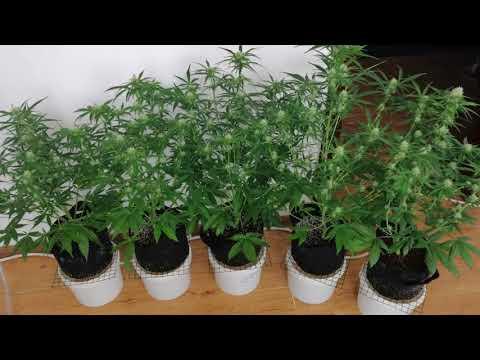 AUTO FEM INDOOR. Marijuana. Grow. Hemp.