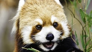 Fun Facts about Cute RED PANDAS climbing, eating, playing, standing and sleeping.