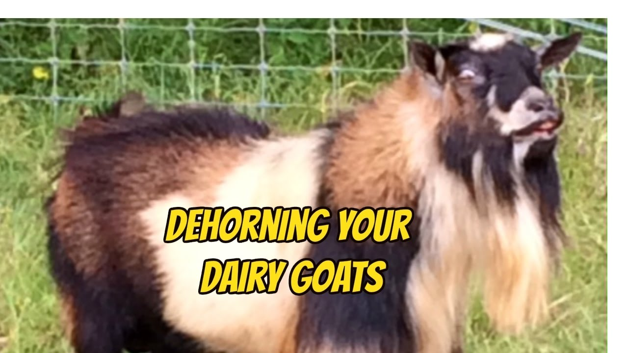 how to dehorn your dairy goat youtube