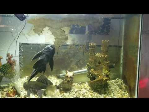 Suckerfish Cleanup Algae Timelapse, Plecostomus Fish 2