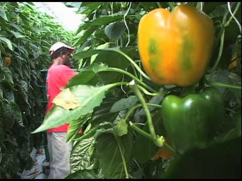 Greenhouse Vegetable Harvest Video   YouTube
