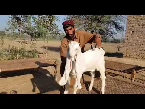 Pure Gulabi Kapla Goat Kid Breed Sindh Pakistan