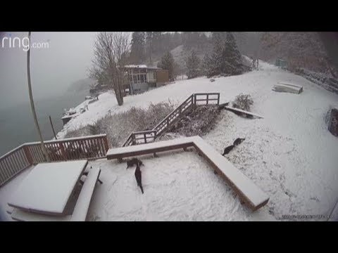 Carla Marie & Anthony - Otters Caught Playing in the Snow on Vashon Island