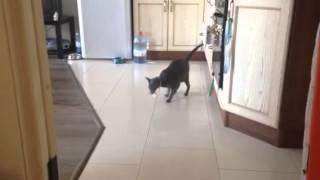 Кошка приносит игрушку, как собака