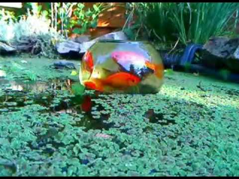 Goldfish pond and observatory youtube How to build a goldfish pond