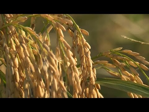American rice farmers bank on exports to China