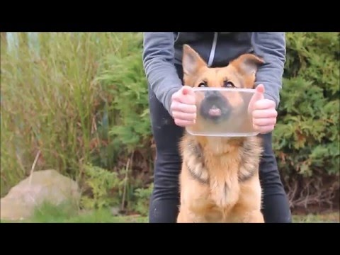 DOG TRICKS BY GERMAN SHEPHERD BRITNEY - 3 YEARS !
