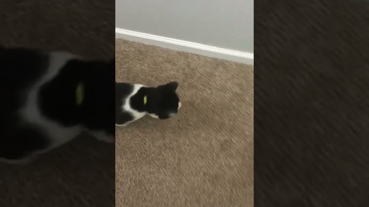 Cat completely ignores toy #shorts