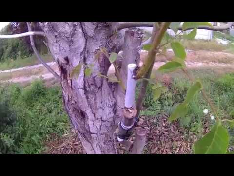 Грецкий орех . Прививка грецкого ореха поздней весной . Результат .
