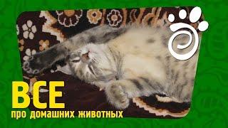 Кот Выставочного Класса И Его Содержание. . Все О Домашних Животных