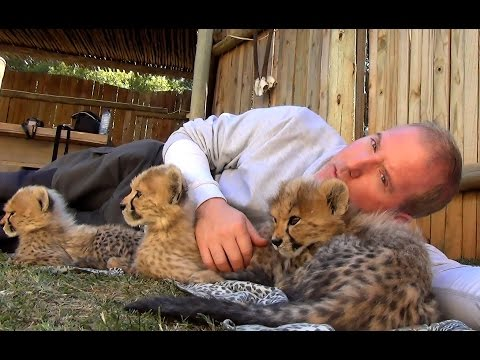 Growing UP Cheetahs - Cubs Eat Play Run Walk Sleep At Endangered Big Cat Breeding Center (Part 2)