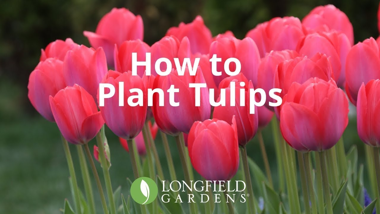 How To Plant Tulips Youtube